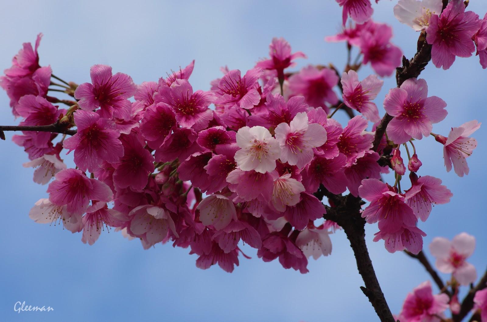 雞南山腳的美麗櫻花。