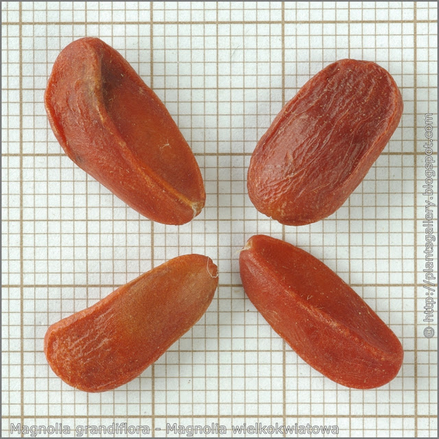 Magnolia grandiflora seeds - Magnolia wielkokwiatowa nasiona