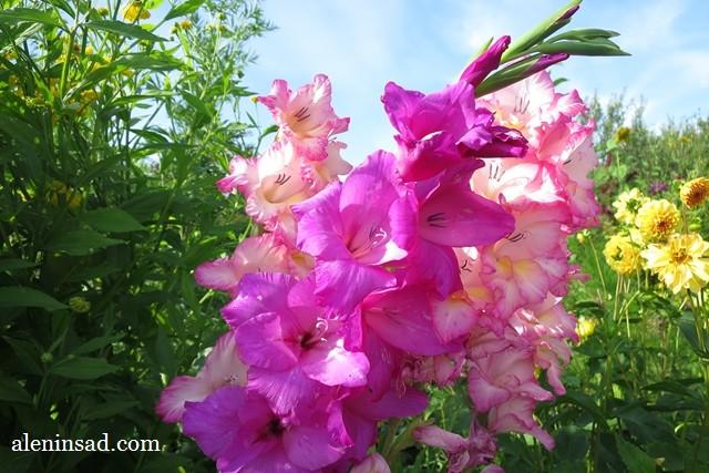 сорта, Нори, Nory, Бонос Мемори, Bonos Memory, вырождение, клубнелуковицы, розовая окраска