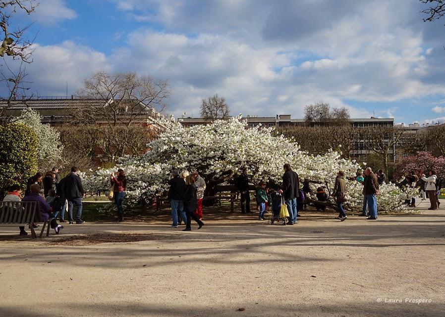 cerisier en fleur au jardin des plantes, paris © Laura Prospero
