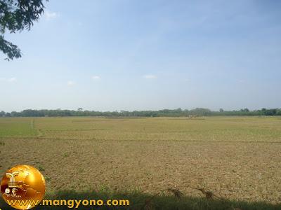 Puluhan hektar tanaman padi kekeringan