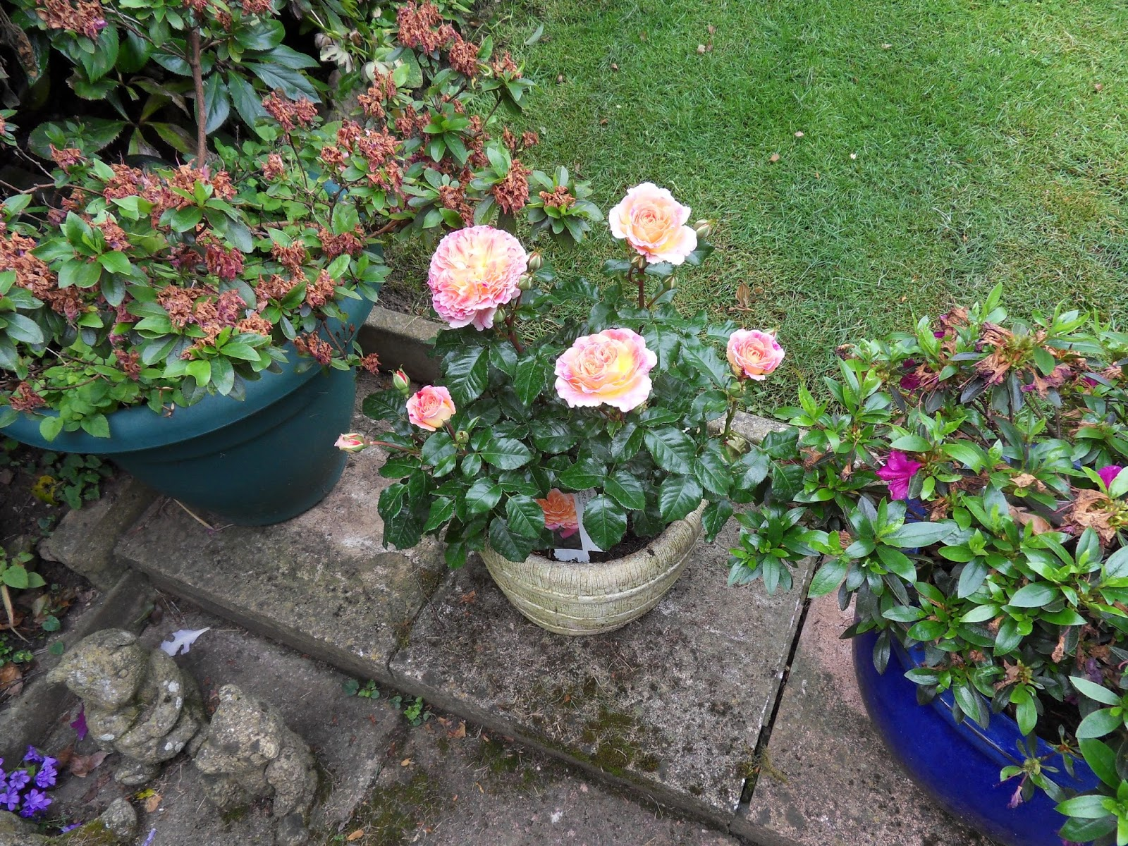 A Couple Of Weeks Ago We Went To Our Favourite Garden Center In Raglan And  As Hubby Had A Voucher We Put It Towards This Stunning Patio Rose, ...