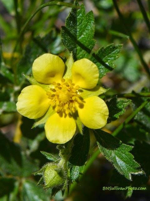 Yellow Cinquefoil (Potentilla sp), Rocky Mountain National Park