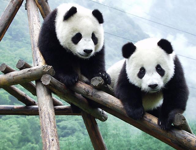 Amazing Giant Panda: Endangered Species, Giant Pandas ...
