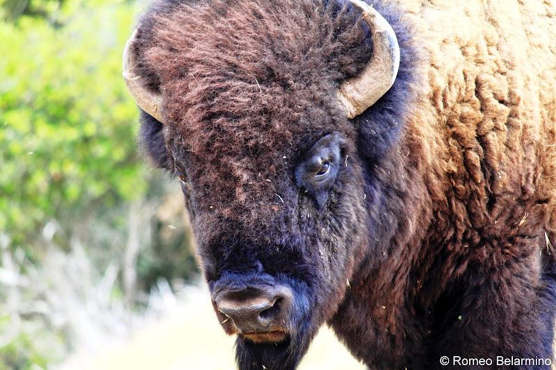 Santa Catalina Island Bison