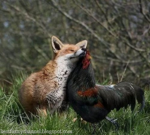 Cock and fox friends.