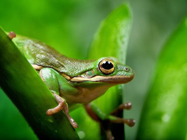 """<img src=""""http://1.bp.blogspot.com/-410l-GGgteo/Uq9gfjb7ltI/AAAAAAAAFxs/62Zqg_UzUb4/s1600/ngg.jpeg"""" alt=""""Frogs Animal wallpapers"""" />"""