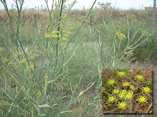 Adas (Foeniculum vulgare Mill.)