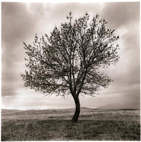 A tree in sepia tones