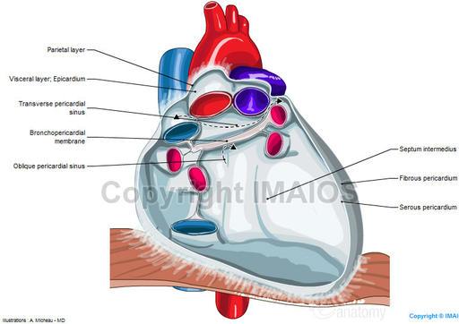 Anatomy Of The Pericardium En Medical on Pericardial Cavity Anatomy Of The Pericardium En