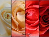 6 Arti Warna Bunga Mawar