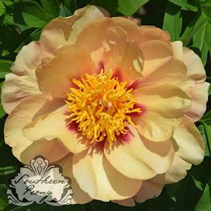 Intersectional Peony 'Misaka' 美 (Beautiful Blossom) 'Smith Opus 1'