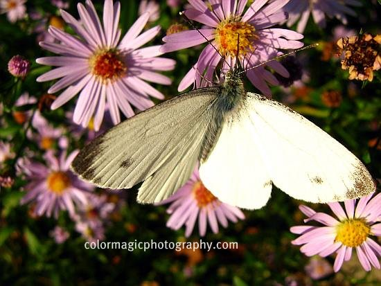 Butterfly on purple aster