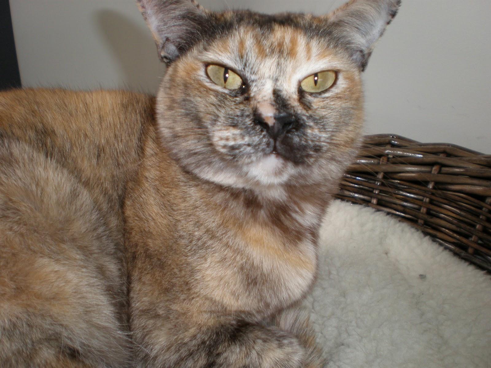 Cooinda Cat Resort Kitty Kapers Cat Breeds Burmese