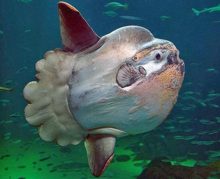 ocean sunfish image