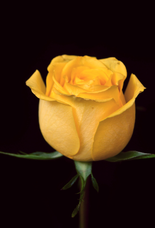 The Flying Clubhouse: Yellow Rose