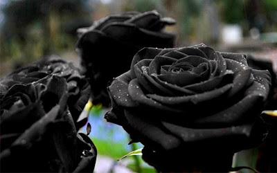 Vẻ đẹp của loài hoa hồng đen trong truyền thuyết