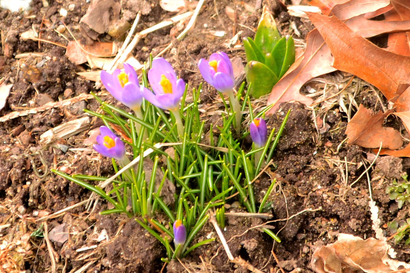 The Nature Of Framingham First Flowers Of Spring