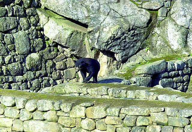 oso de anteojos machupicchu - peru
