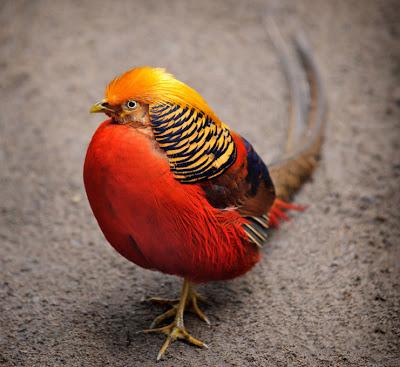 Faisán dorado - Golden pheasant