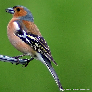 Chaffinch at RSPB Northward Hill