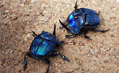 http://1.bp.blogspot.com/-44zcQlJqKrQ/UOZ6zjVCRWI/AAAAAAAAWXY/ec6zd76K7-I/s1600/Amazonian+Carrion+Scarab+Beetle+Gergasi.jpg
