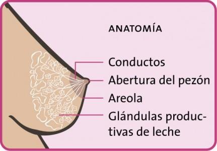 Lactancia materna: Anatomía de la mama