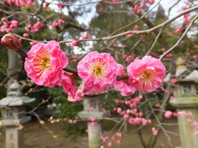美しく咲いた紅梅。
