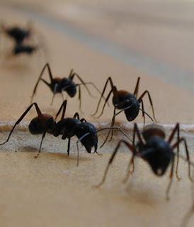 señoras hormigas