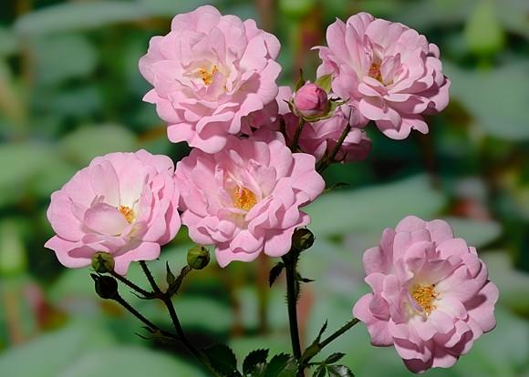 Satina rose сорт розы фото