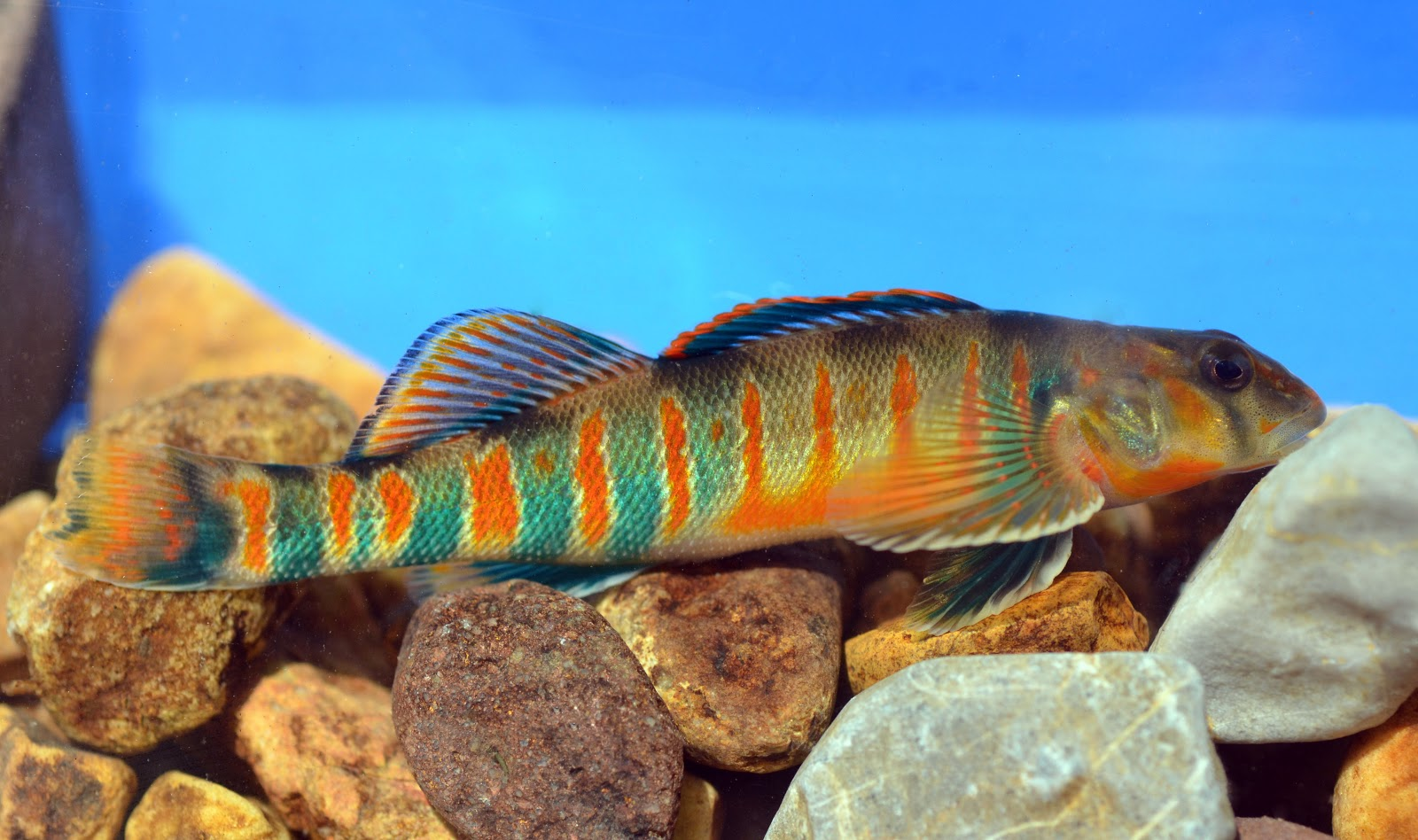 Virginia Fishes: Candy darters (Etheostoma osburni) in Big Stony Creek