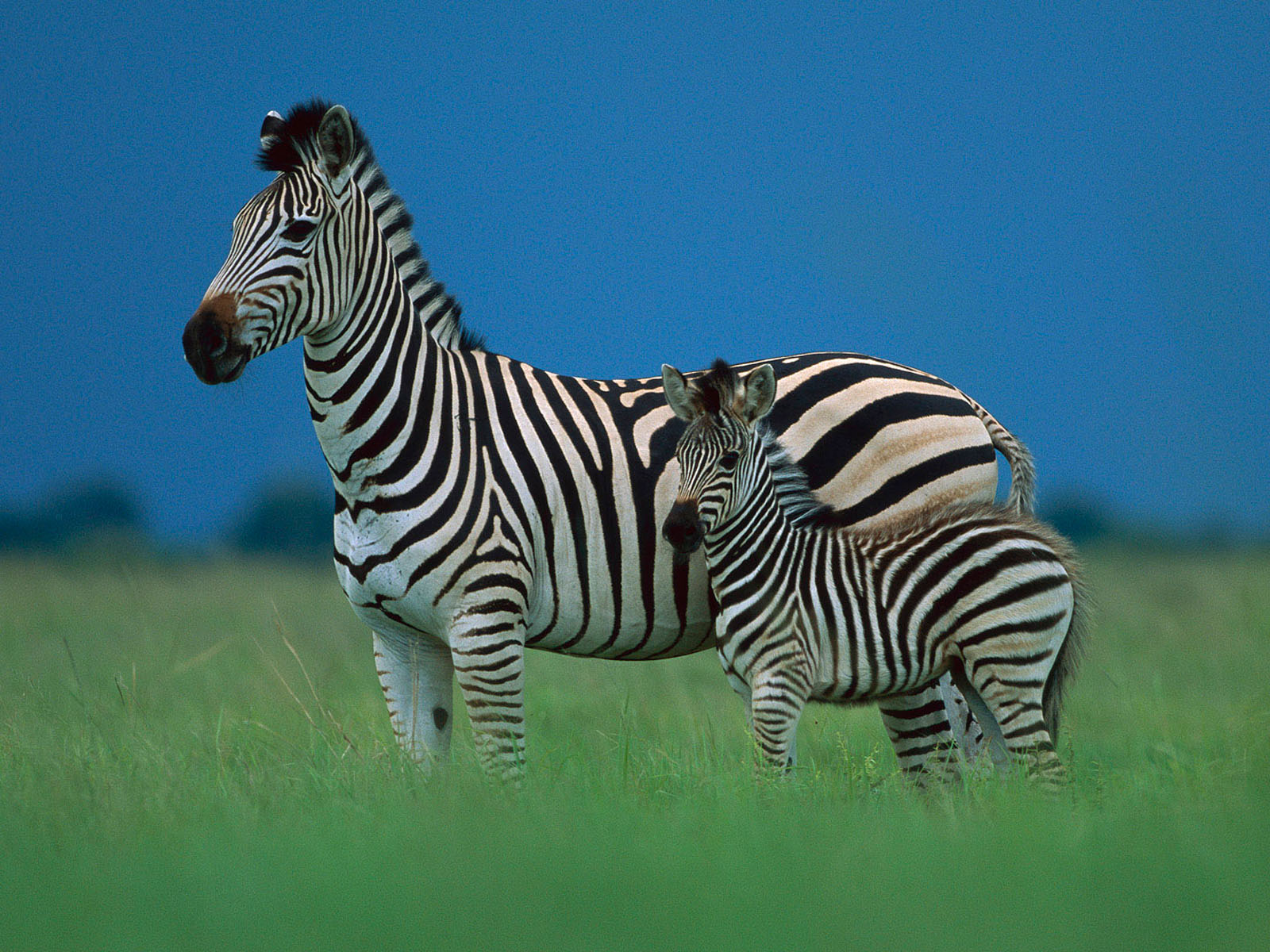 wildlife zebra hd wallpaper 2012. Black Bedroom Furniture Sets. Home Design Ideas