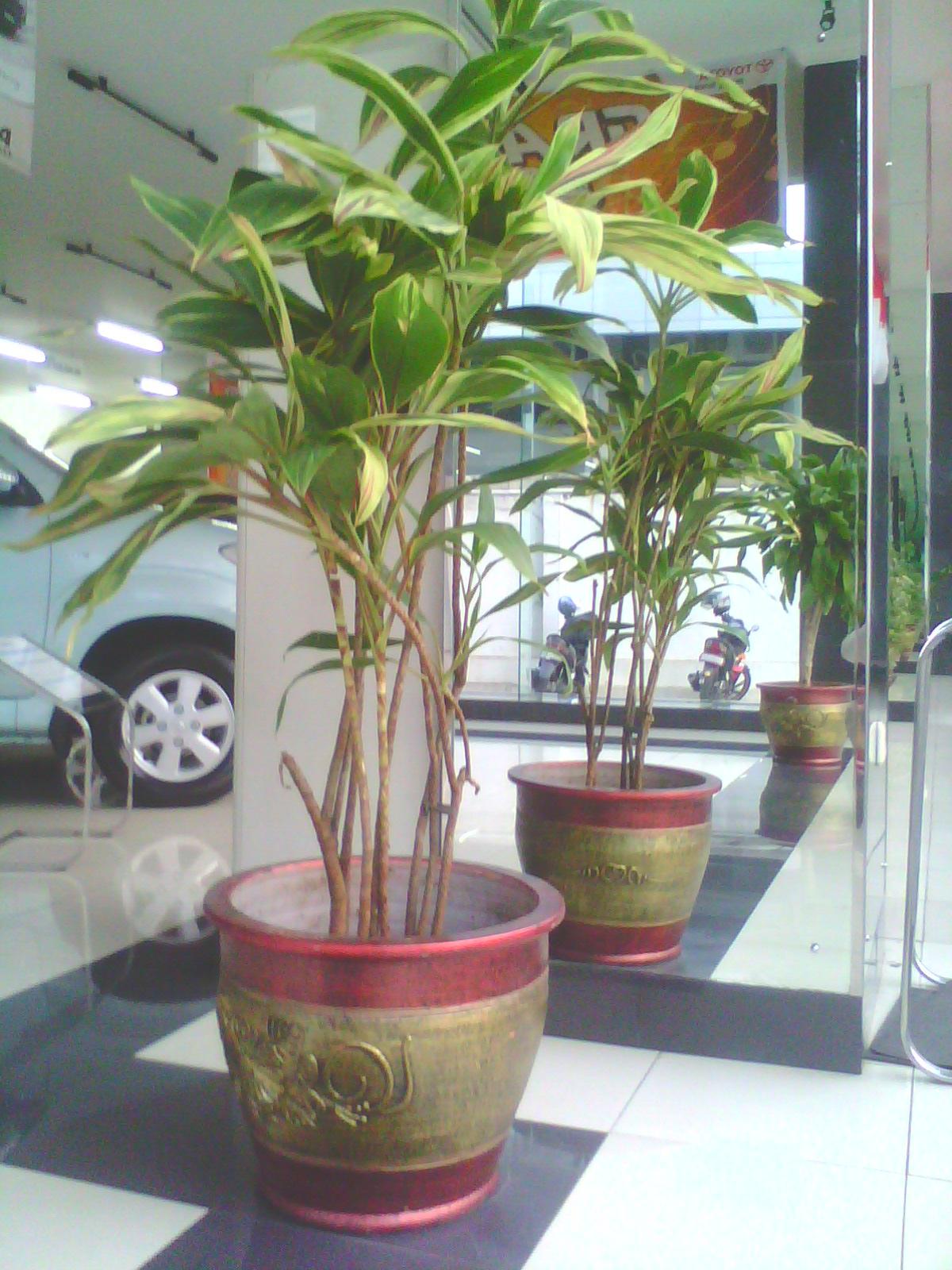 sewa tanaman | andong terang | Ukuran Tinggi | Telp. 021-70057111 Hp. 08561577500