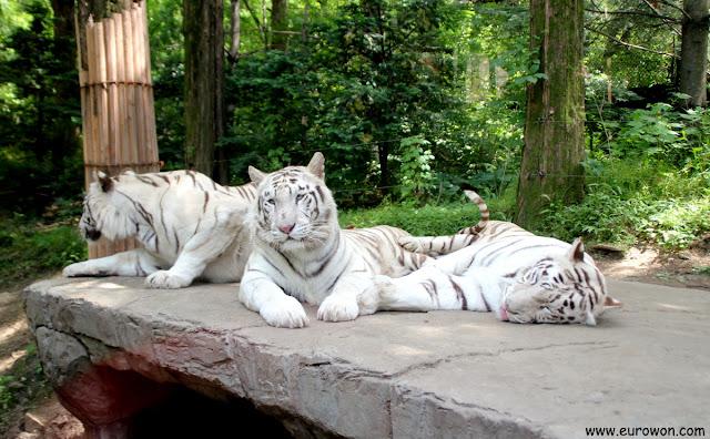 Tigres blancos en el parque de atracciones Everland de Gyeonggi-do