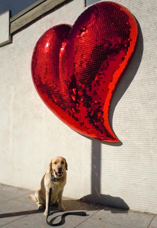 Valentine's heart Labrador Cooper