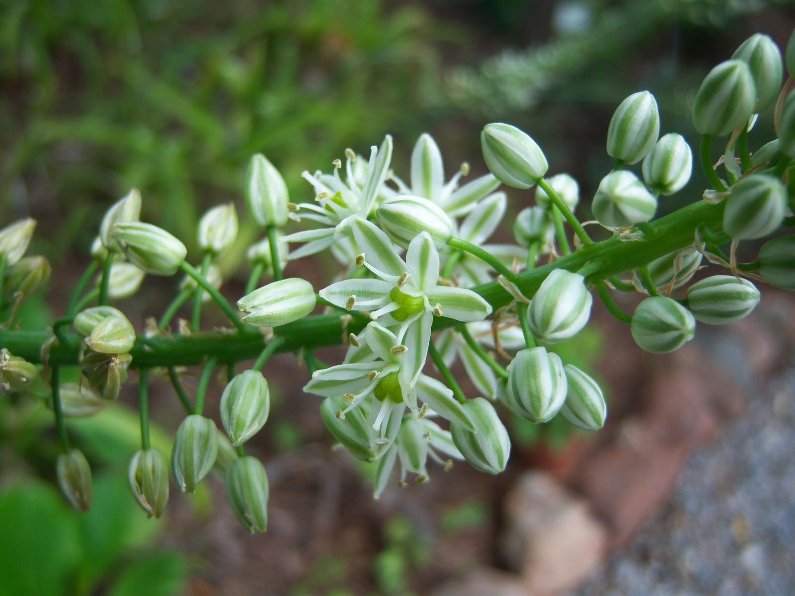 Baños Plantas Para Buena Suerte:Foto Botanic Serrat : Cebolla de la suerte (Ornithogalum caudatum)