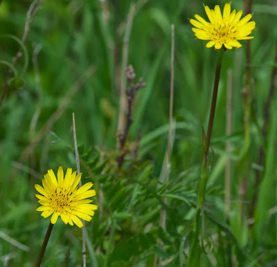 Yellow Goat's-Beard (Tragopogon pratensis)