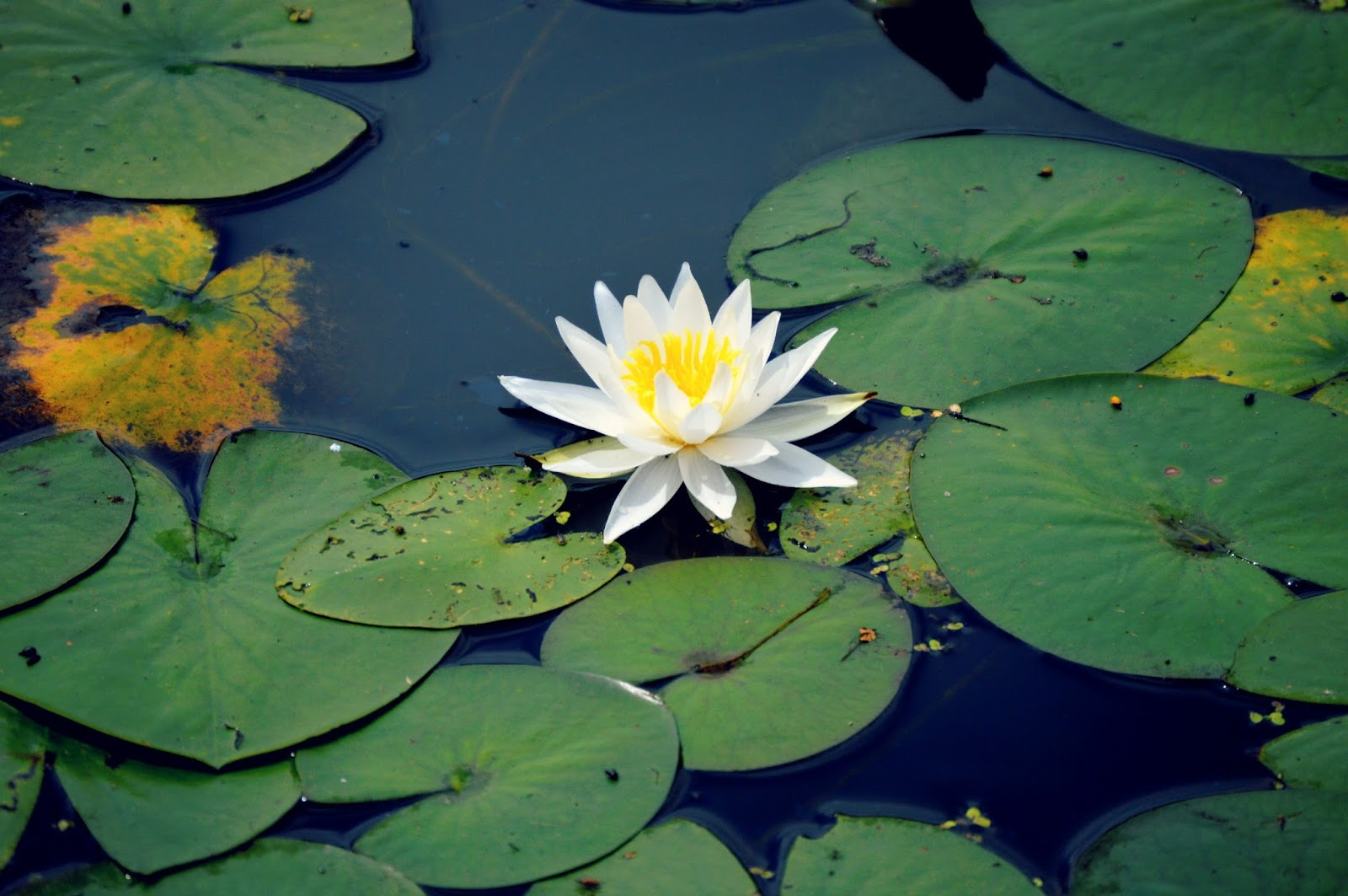 Confessions of a Serial Napper lilypad flower