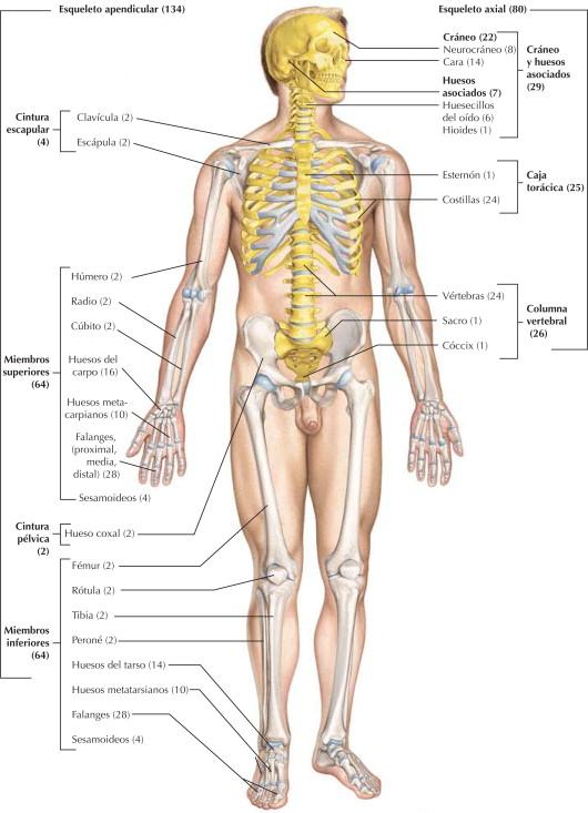 Sistema esquelético: esqueleto axial y apendicular | Netter Blog