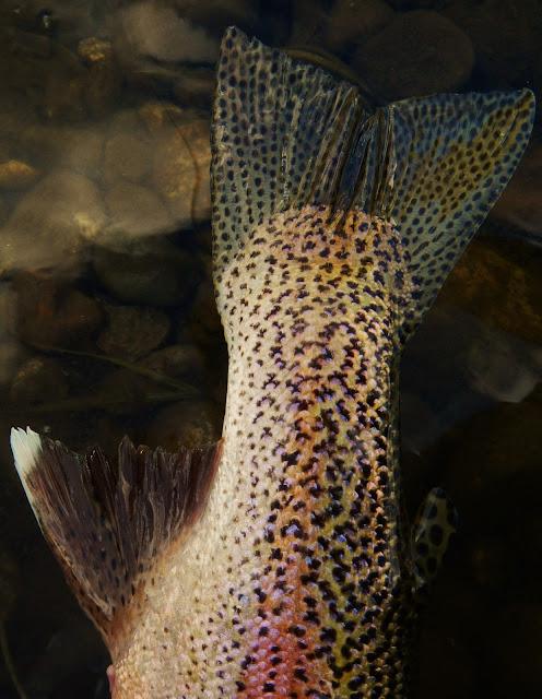 Bitterroot River Rainbow Trout Tail