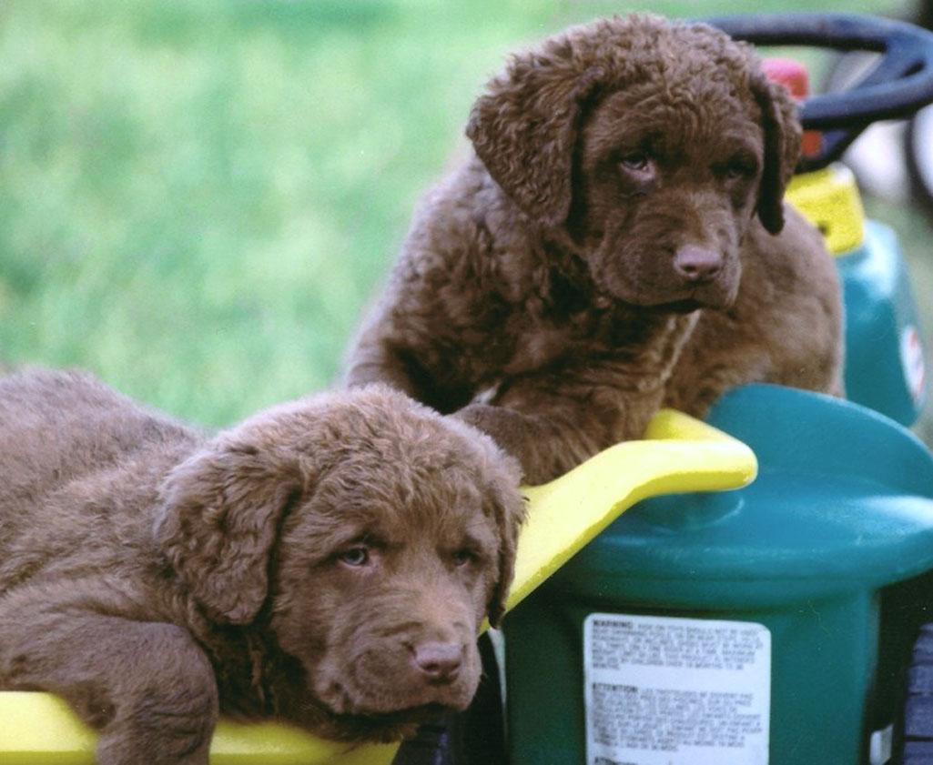 Chesapeake Bay Retriever Dogs For Sale