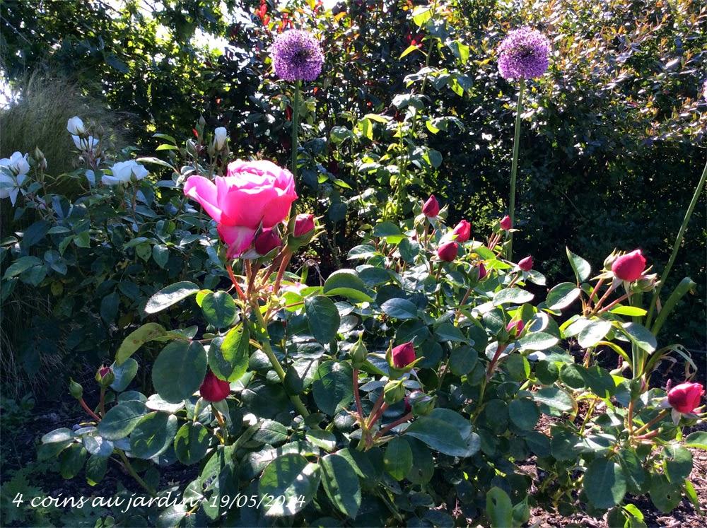 4 coins au jardin rosier l onard de vinci rosa leonardo da vinci. Black Bedroom Furniture Sets. Home Design Ideas