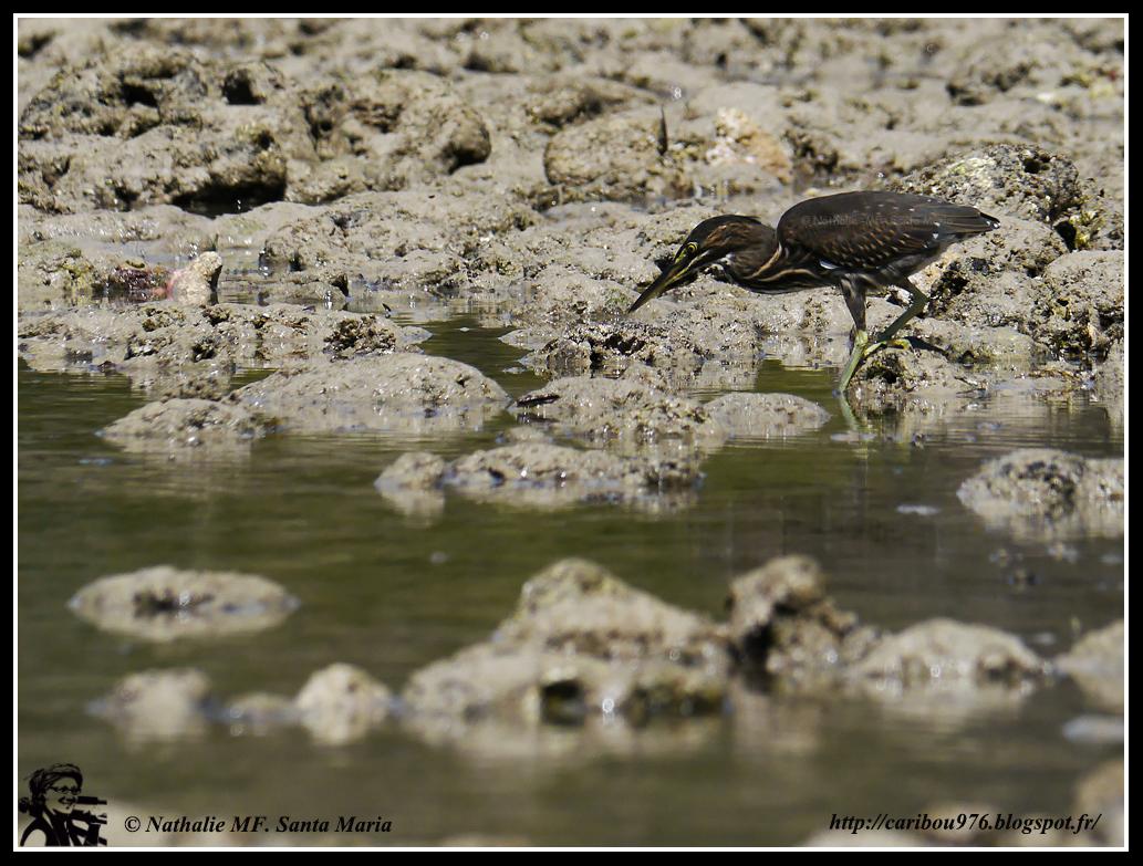 http://caribou976.blogspot.co.uk/2013/05/herons-stries-sur-le-platier-de-moya.html