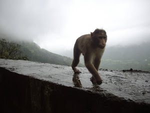 KING KONG on the prowl?:- A Bold Rhesus monkey, the only mammal spotted at Malshej Ghat.