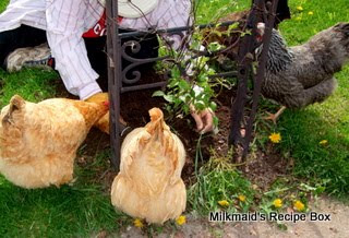 Hens focusing on FOOD (worms)!