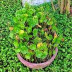 گیاهان طبیعت و باغچه های لاهیجان