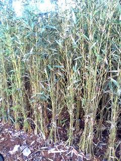 pohon bambu kelisik