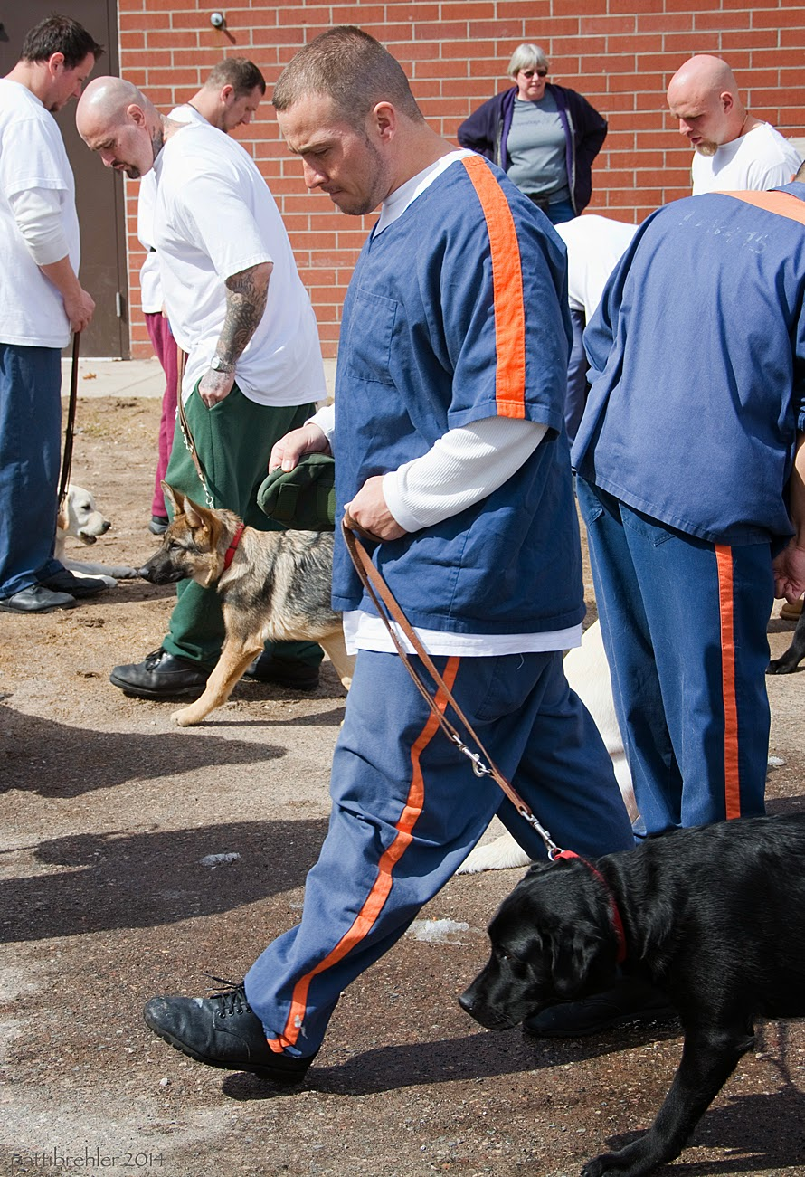 A group of men and puppies are walking from side to side amongst each other. The man in the middle in the foreground is wearing the prison blue uniform and is walking to the left. He is holding the leash with both hands near his waist, a black lab is walking on his left side. In the background is a man in a white t-shirt and green pants waling to the left with a small german shepherd. The woman in a grey t-shirt and purple hoodie is in the very background standing with her hands on her hips near a red brick wall.