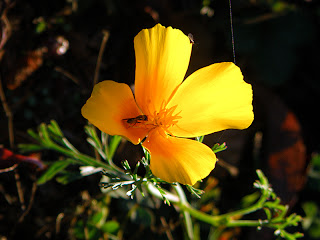 Golden Poppy with Bee in it Backlit by Sun
