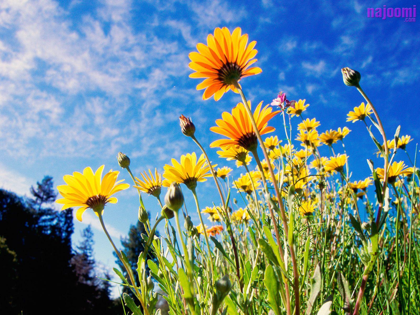 http://1.bp.blogspot.com/-49dsngqVMvg/TcQMK9cj8lI/AAAAAAAAKA8/flKdJU1TXYE/s1600/Many-Sun-Flowers-1600X1200-696.jpg